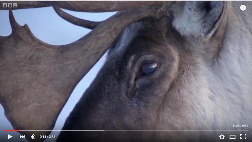 Vidéo BBC caribous
