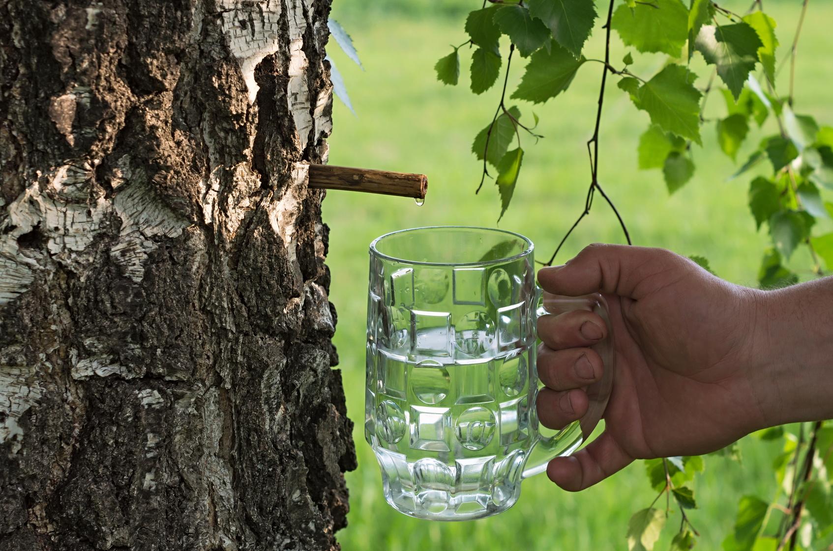 Détox à l'eau des bois : la sève de bouleau