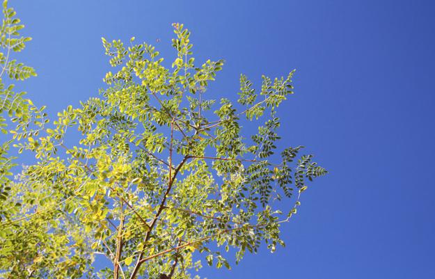 Le moringa, un super-aliment aux nombreuses vertus