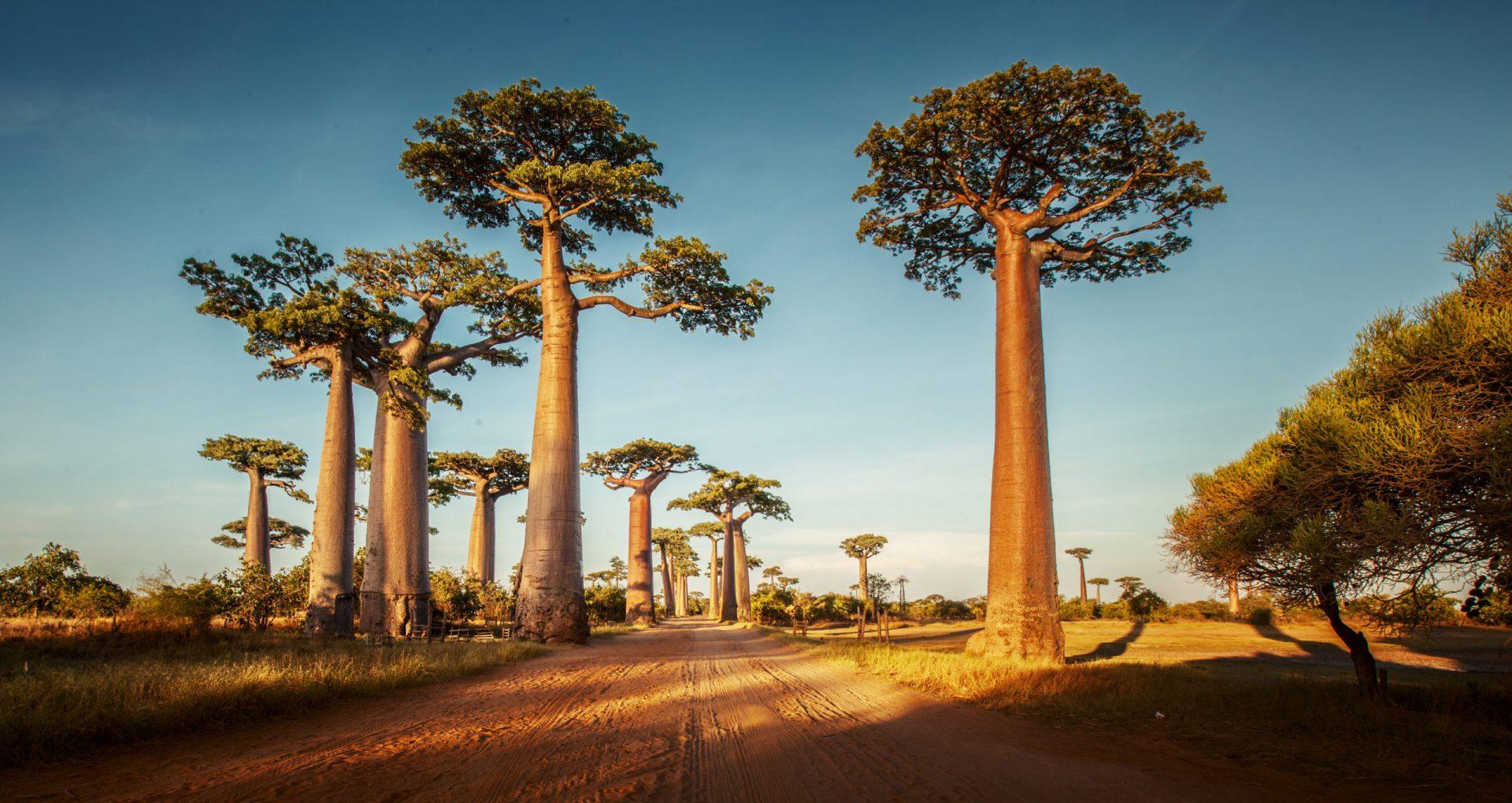 Le baobab : un arbre aux multiples bienfaits